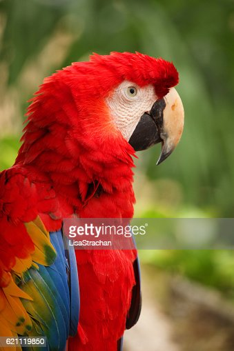Closeup of a Red Macaw, Cozumel, Mexico. : Stock Photo