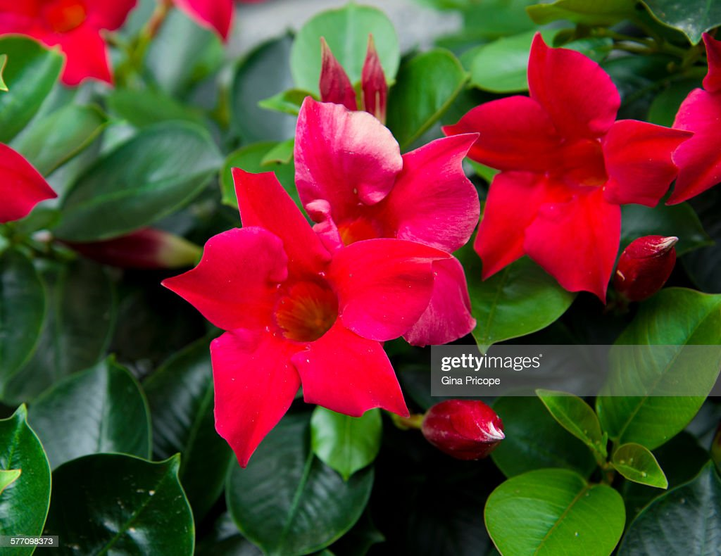 Close-up of a red Mandevilla flowering plant.