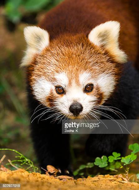 Close-up of a red panda looking at the camera