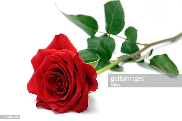 Close-up of a red rose in full bloom