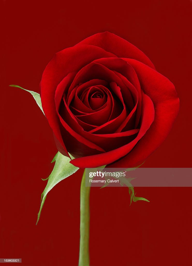 Close-up of a red rose on a red background.