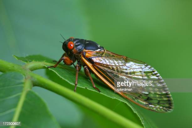 Close-up of a red-eyed Cicada resting on a green leaf