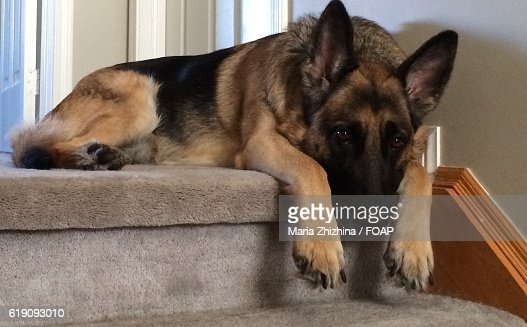 Close-up of a resting German shepherd
