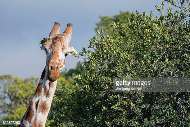 Closeup of a reticulated giraffe in the Ol Pejeta Conservancy in Kenya with a Yellowbilled oxpecker on its head