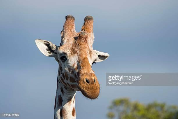 Closeup of a reticulated giraffe in the Ol Pejeta Conservancy in Kenya
