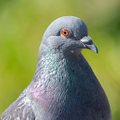 Rock dove close up showing it's orange eye and iridescent feathers on a green blurry background
