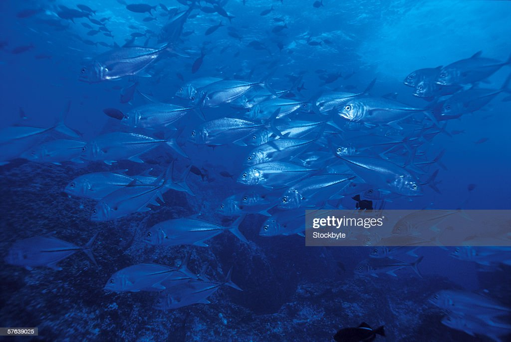 close-up of a school of tuna fish : Stock Photo