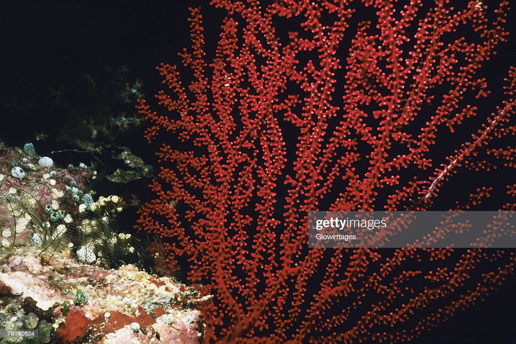 Close-up of a Sea Fan underwater, Palau : Foto de stock
