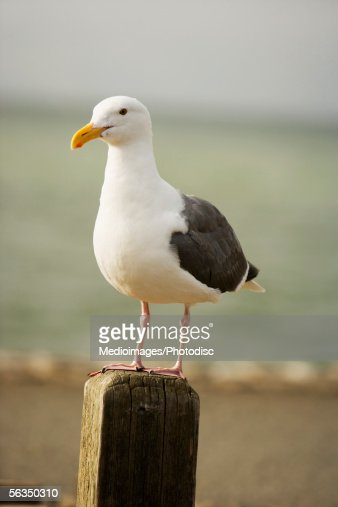 Close-up of a seagull on a wooden post, Pacific Ocean, California, USA : Stock Photo