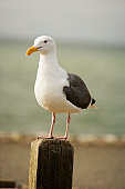 Close-up of a seagull on a wooden post, Pacific Ocean, California, USA