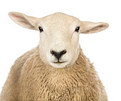Close-up of a Sheep's head against white background