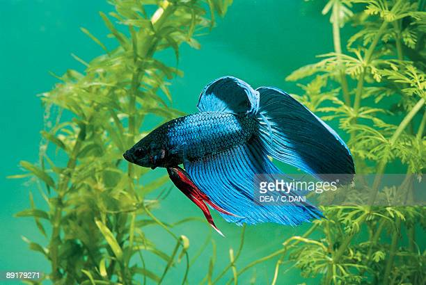 Closeup of a Siamese Fighting fish swimming underwater