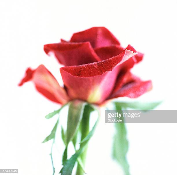close-up of a single red rose