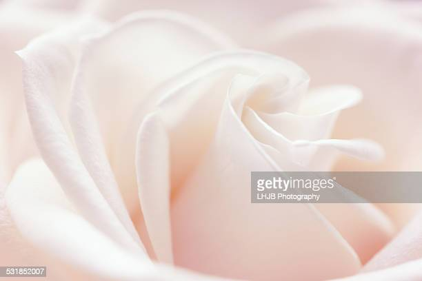 A close-up of a single soft colored pink rose