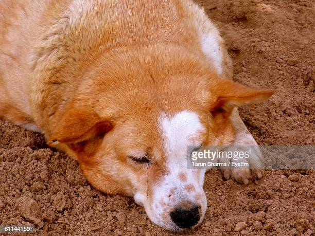 Close-Up Of A Sleeping Dog