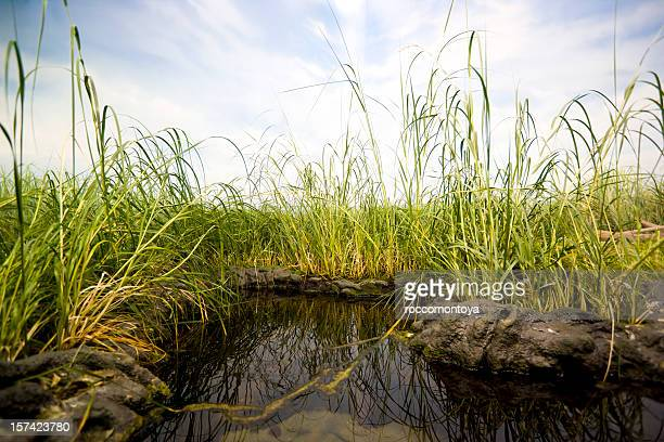 Close-up of a small swamp surrounded by tall green grass