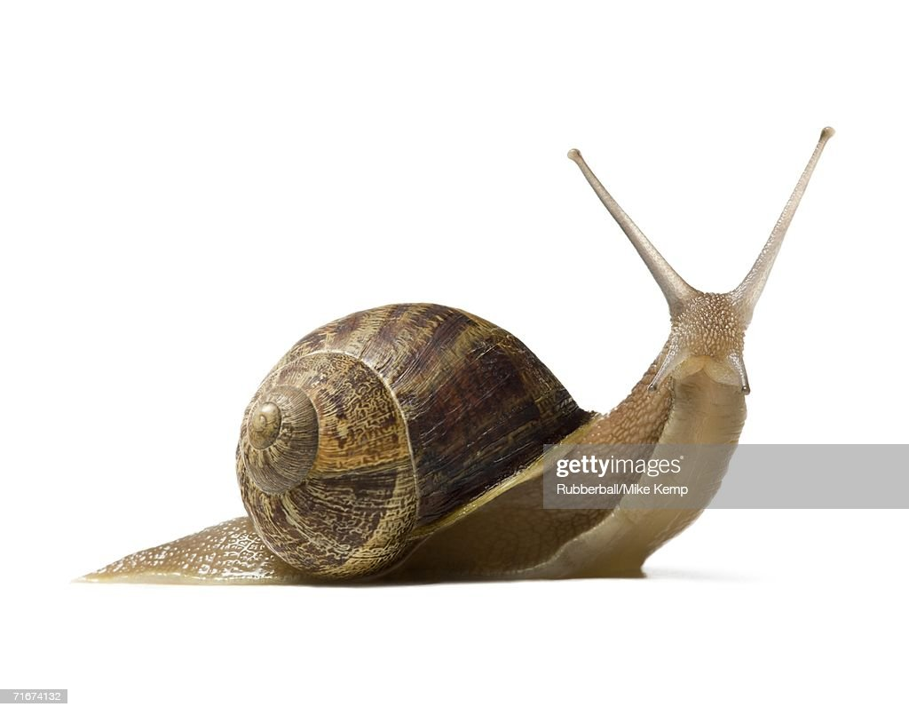 Close-up of a snail on a white background, silhouette