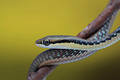 Close-up of a snake on branch, Jember, East Java, Indonesia