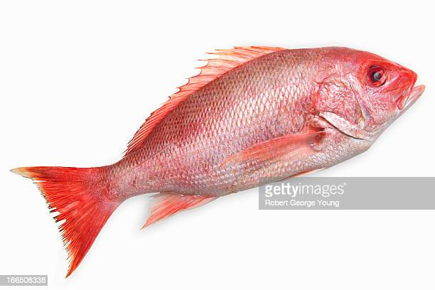 Close-up of a snapper fish