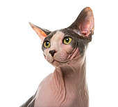 Close-up of a sphynx