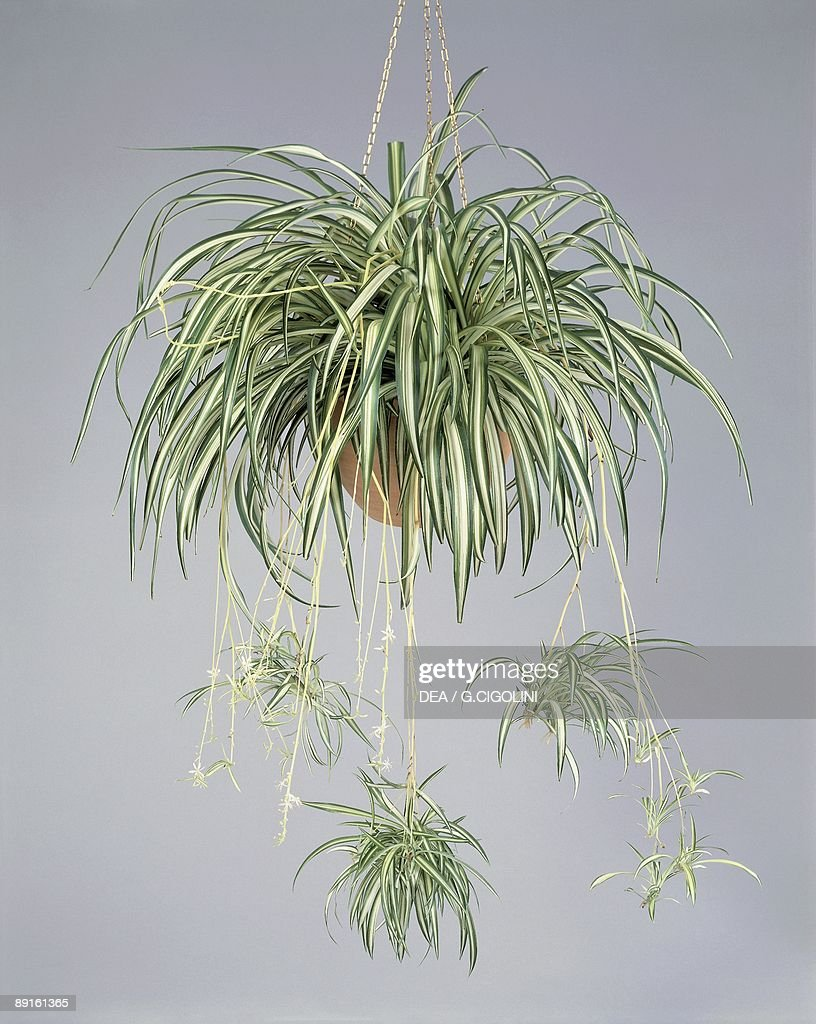 close up of a spider plant chlorophytum comosum pictures getty