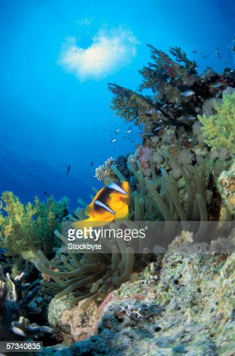 close-up of a striped fish swimming through coral reef : Stock Photo