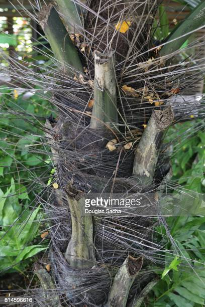 Close-up of a Sugar Palm tree (arenga pinnata)