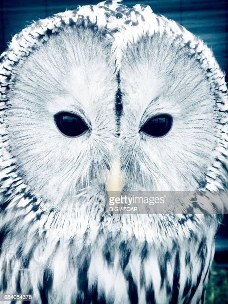 Close-up of a tawny owl