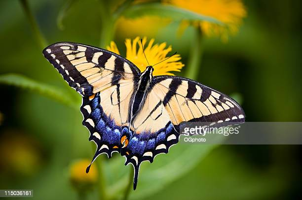 A close-up of a Tiger Swallowtail butterfly on a flower