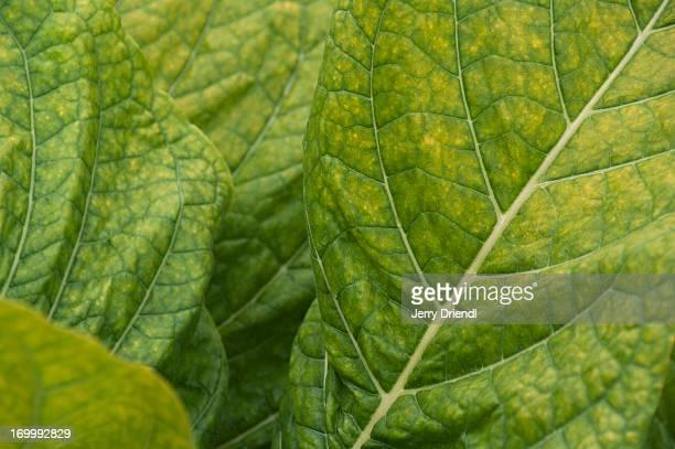 Close-up of a tobacco leaf