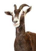 Close-up of a Toggenburg goat against white background