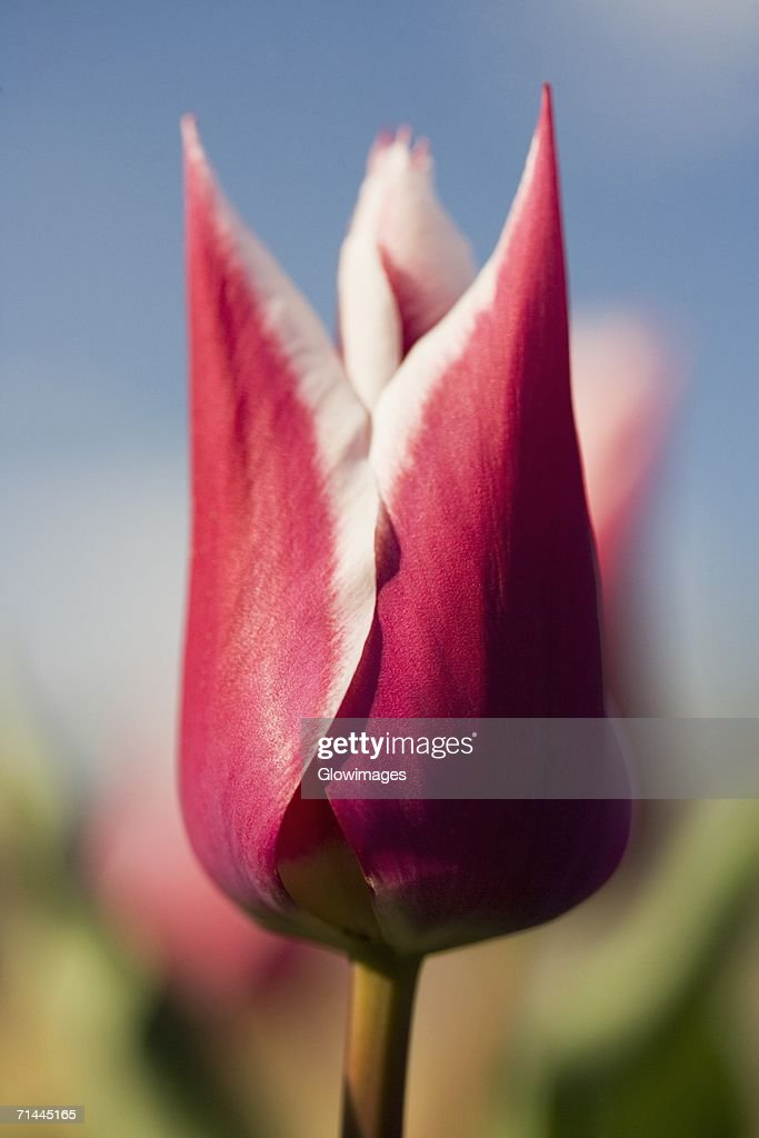 Close-up of a tulip flower : Stock Photo