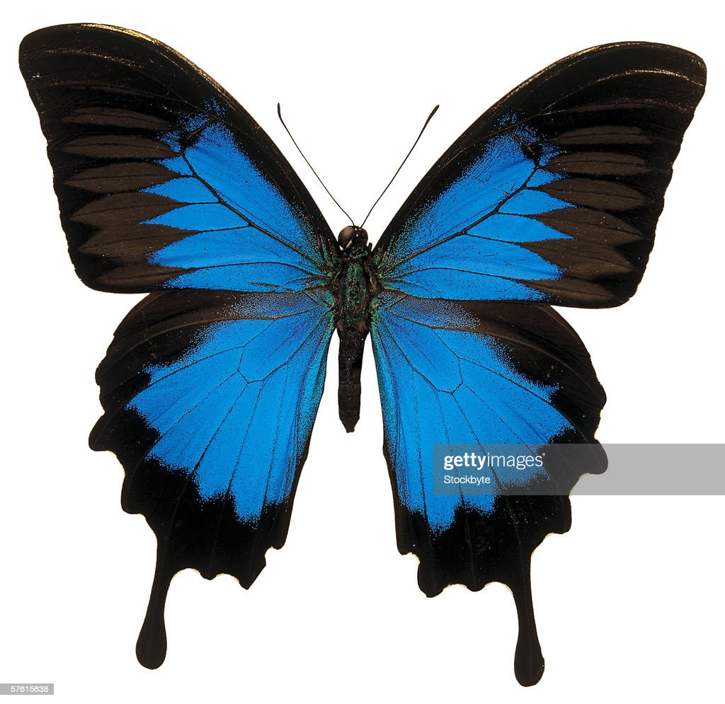 close-up of a Ulysses papilio butterfly : Stock Photo
