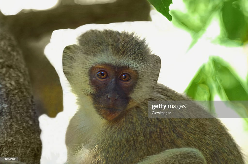 Close-up of a Vervet monkey (Cercopithecus aethiops) on a tree, Makalali Game Reserve, South Africa : Foto de stock