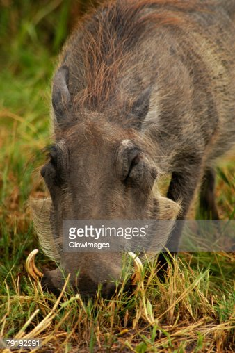 Close-up of a Warthog (Phacochoerus aethiopicus) looking for meal in a forest, Okavango Delta, Botswana : Stock Photo