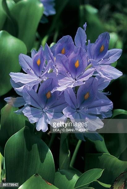 Closeup of a Water Hyacinth flowers