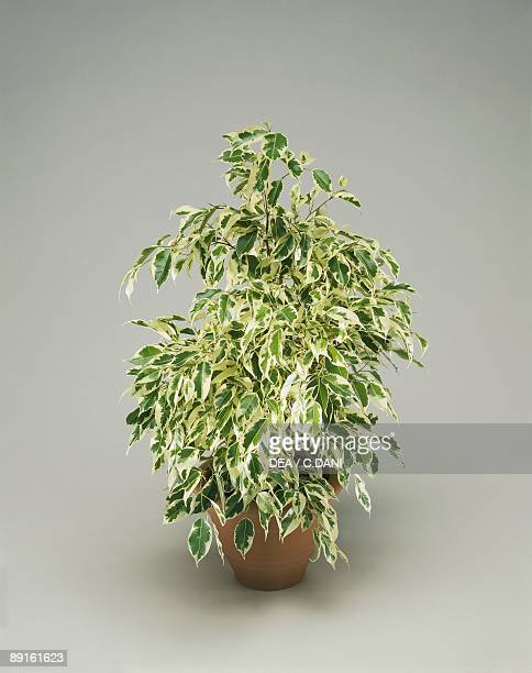 Closeup of a Weeping fig plant