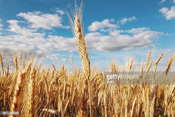 Close-Up Of a wheat field