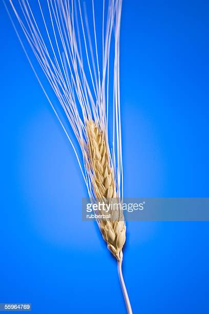 Close-up of a wheat stem