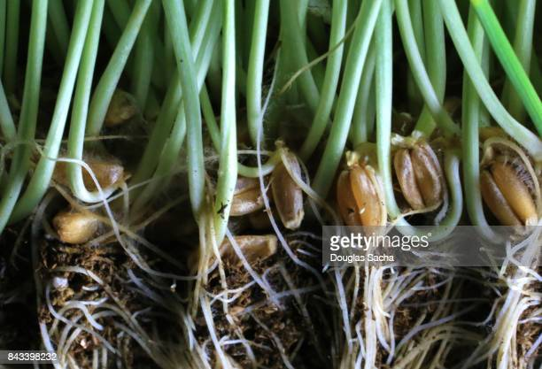Close-up of a Wheatgrass Plant and roots (triticum aestivum)