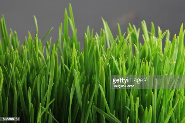 Close-up of a Wheatgrass Plant (triticum aestivum)