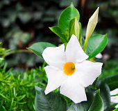 Close-up of a white Mandevilla flowering plant