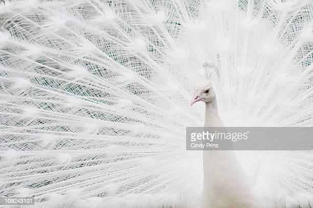Closeup of a White Peacock bird