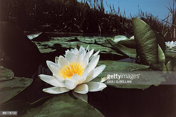 Closeup of a White water lily