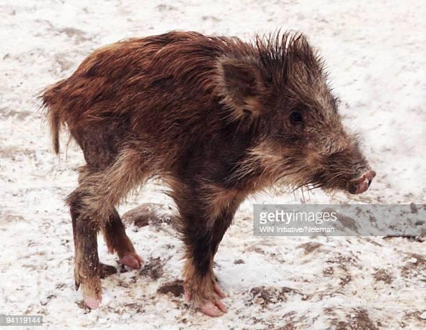 Close-up of a wild piglet, Mukachevo, Ukraine
