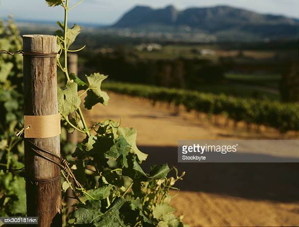 close-up of a wooden post in a vineyard