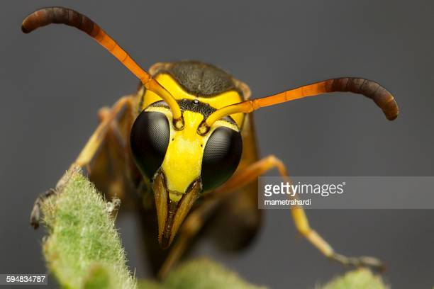 Close-up of a yellow jacket wasp, Bekasi, West Java, Indonesia