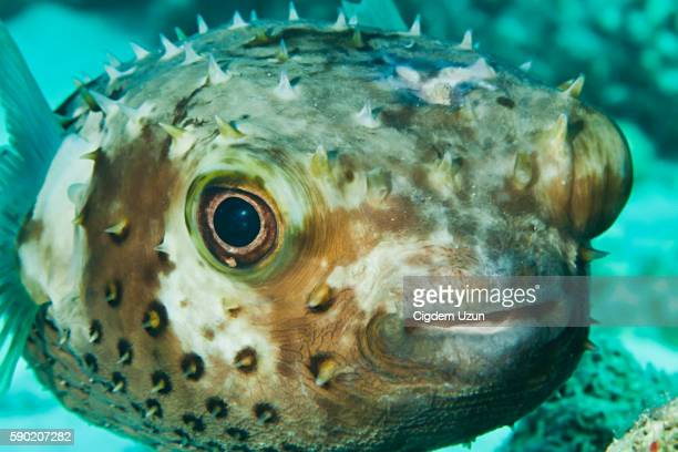 Closeup of a Yellowspotted Burrfish (Cyclichthys spilostylus). Red Sea, Egypt