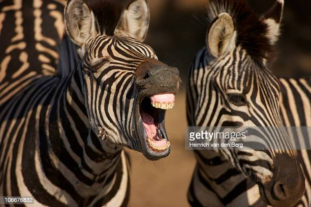 A close-up of a Zebra showing its teeth, Isimangaliso, Kwazulu-Natal, South Africa