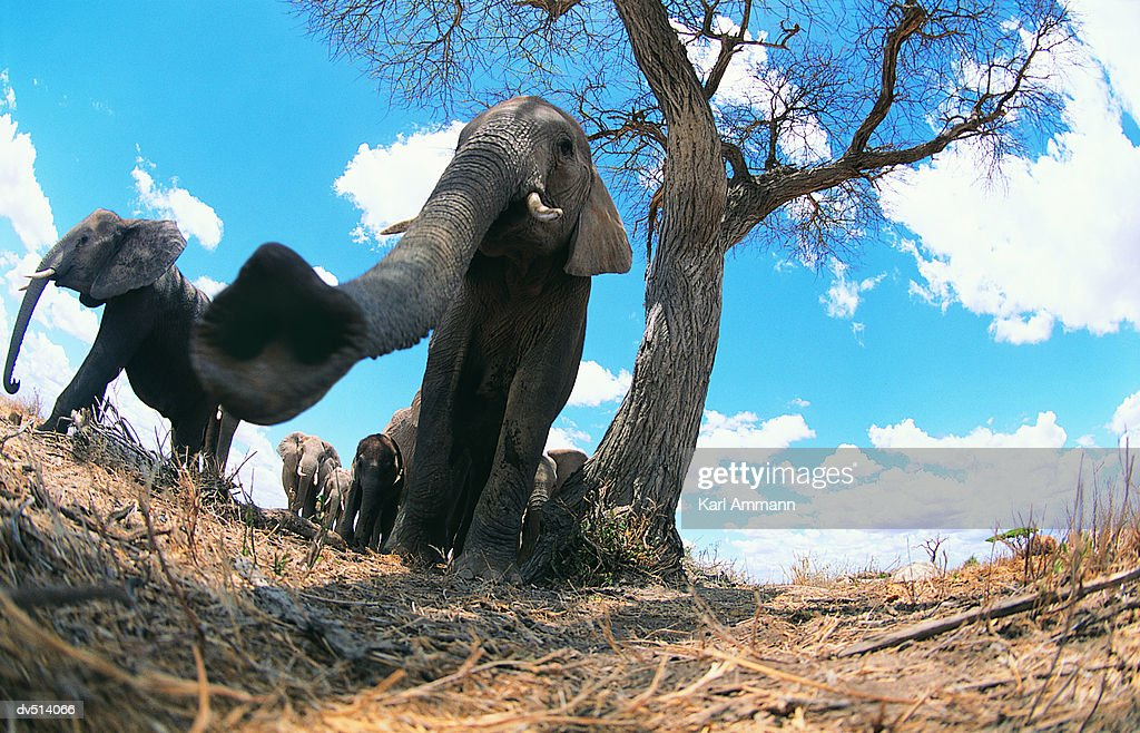 Close-up of African Elephant's Trunk (Loxodonta africana)